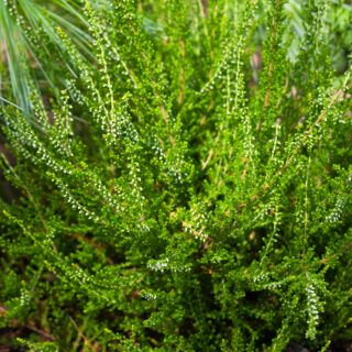 Calluna vulgaris 'Spider'