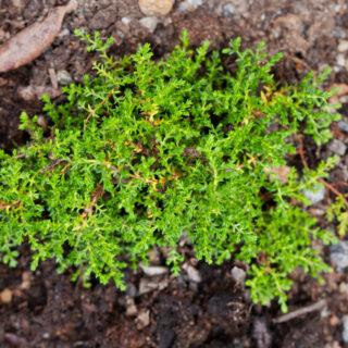 Calluna vulgaris 'Mullardoch'