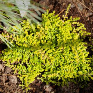 Calluna vulgaris 'Leprechaun'