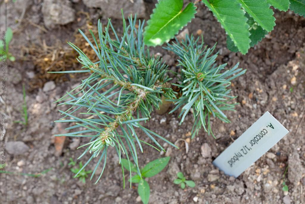 Abies concolor 1/2 Hyboid