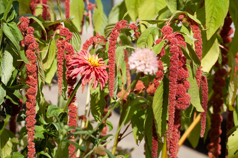 Alltid-växterna som jag älskar i trädgården