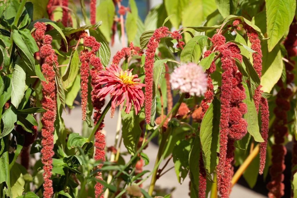 Alltid-växterna - Sommarblommor