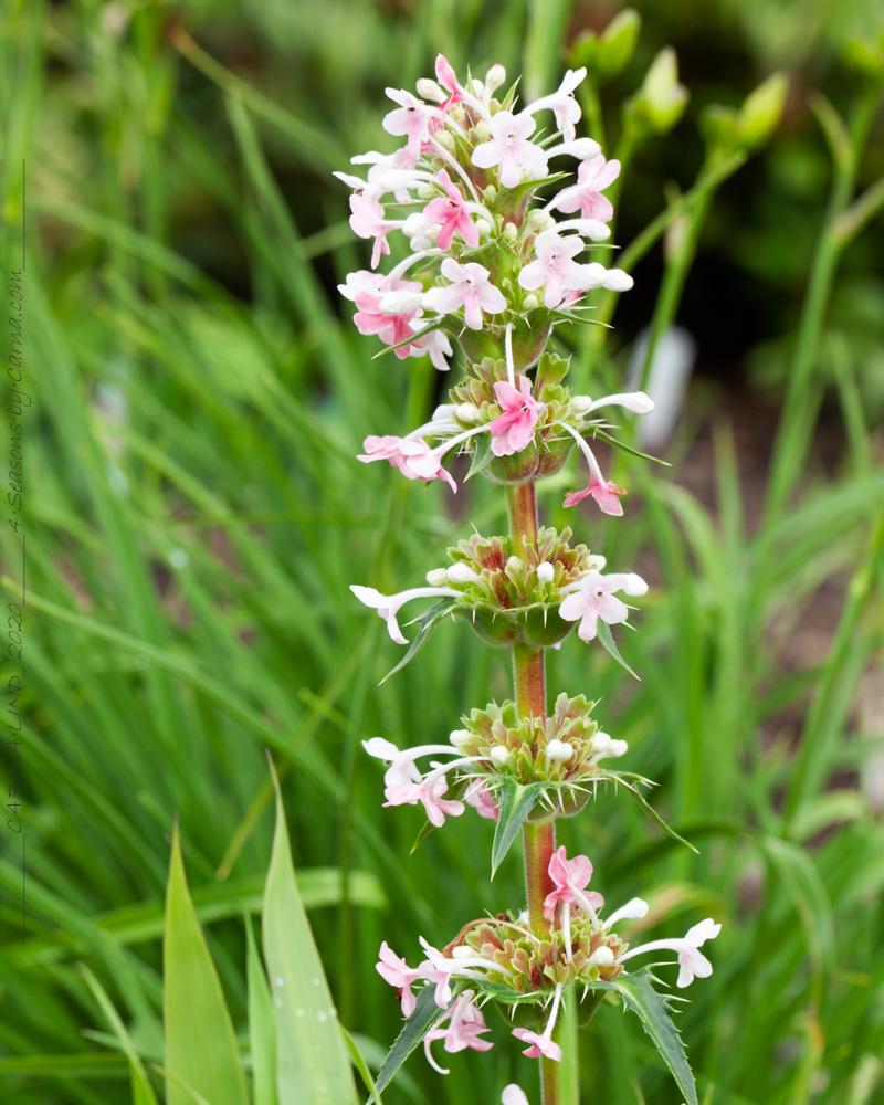 Trädgårdstrött - Morina longifolia - morina