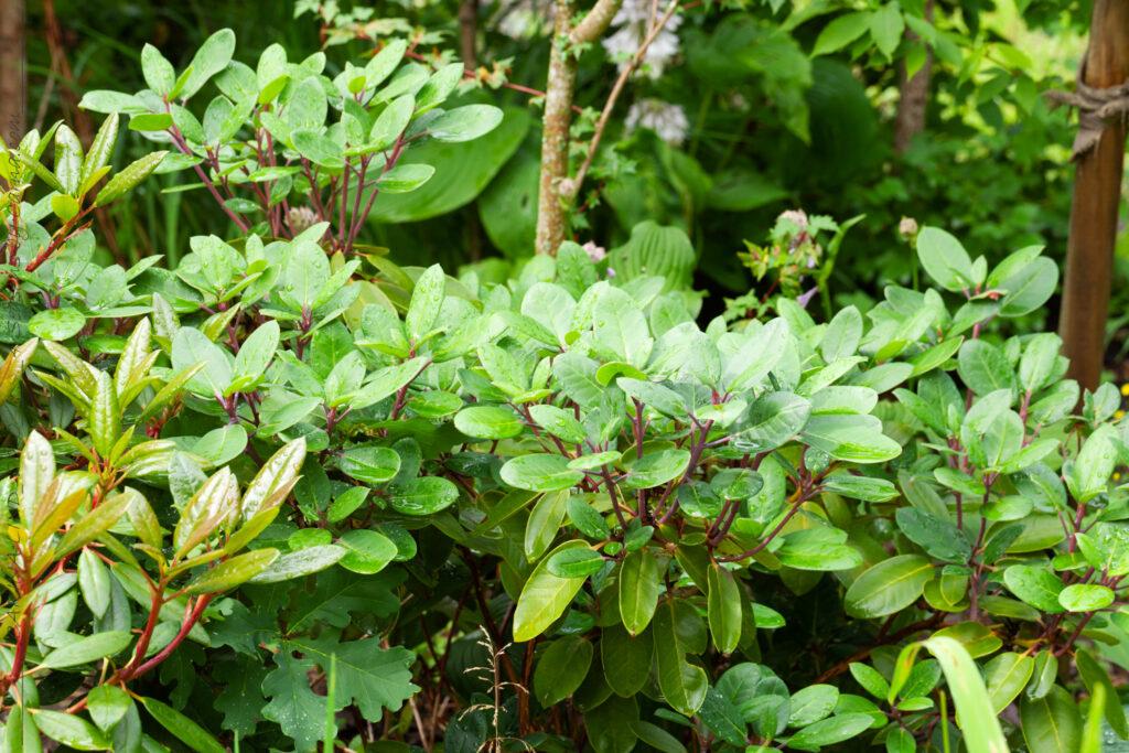 Rhododendron 'Blueshine Girl'