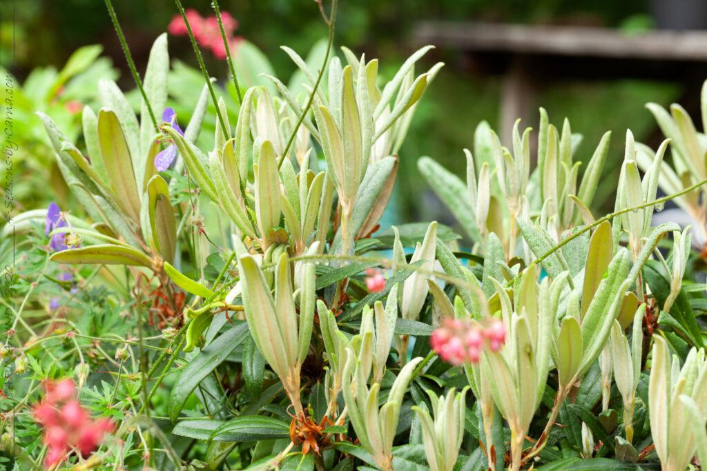 Rhododendron Makinoi-grp Silber Clone