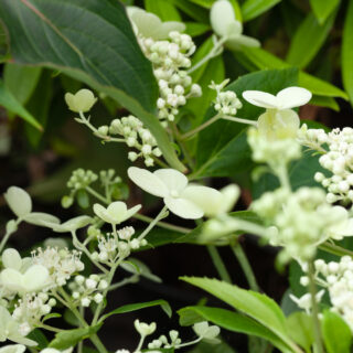 Växthärdighet - Hydrangea paniculata 'Dahruma'