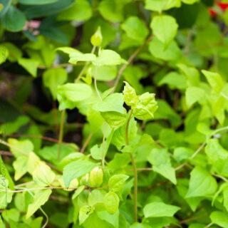 D-E-F-G - Deutzia gracilis 'Aurea'