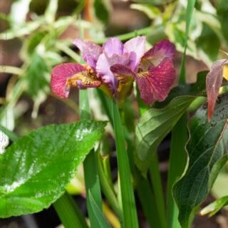 Iris sibirica 'Hot Sketch'