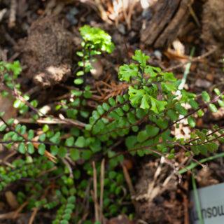 Asplenium trichomanes 'Ramosum Cristatum'