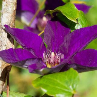 Clematis 'Edo Murasaki' - tidiga storblommiga gruppen