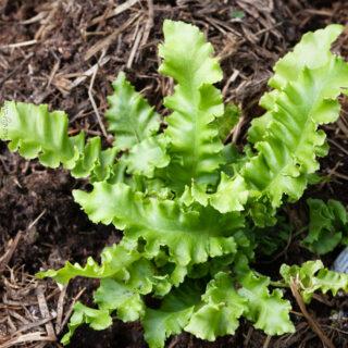 Asplenium scolopendrium 'Crispum'