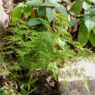 Onychium japonicum - klövbräken