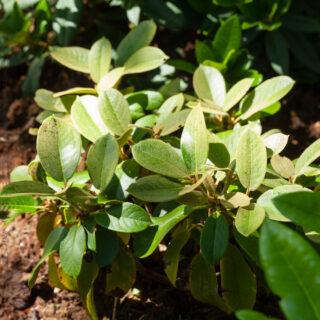 Rhododendron prattii Blackhills
