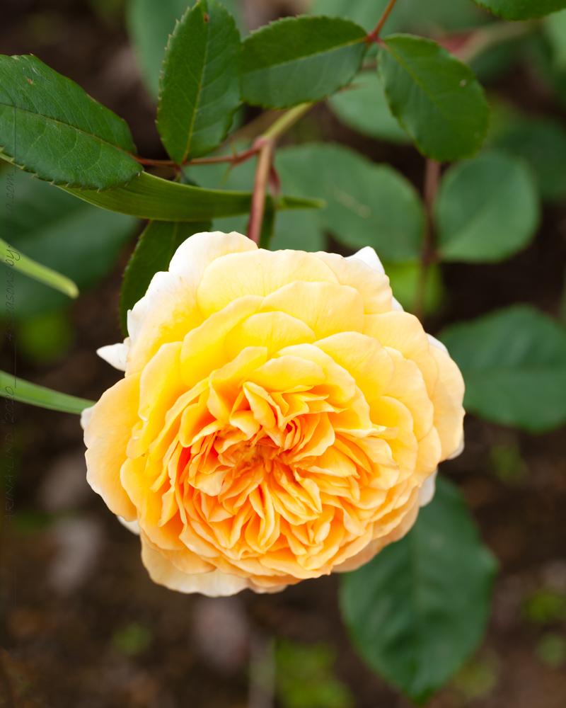 TrädgårdsCirkeln - Austinros 'Crownprincess Margareta'
