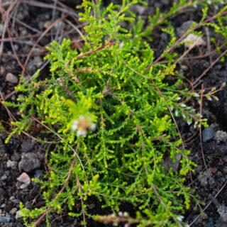 Calluna vulgaris 'Pegel'