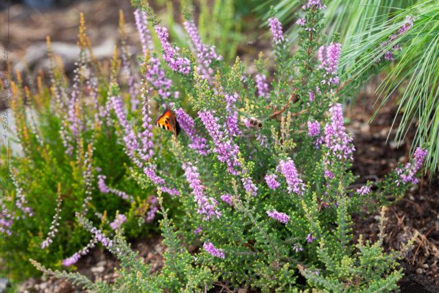 Calluna vulgaris 'Kerstin'