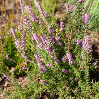 Höstljung - Calluna vulgaris 'Kerstin'