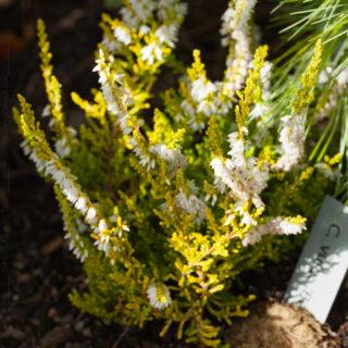 Höstljung - Calluna vulgaris 'Beoley Gold'