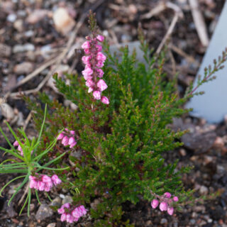 Calluna vulgaris 'Red Favorit'