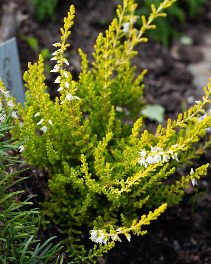 Höstljung - Calluna vulgaris 'Salome'