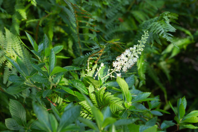 Sensommardoft - Clethra alnifolia 'Hummingbird'