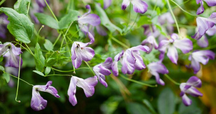 Italiensk klematis blommar så vackert och så länge