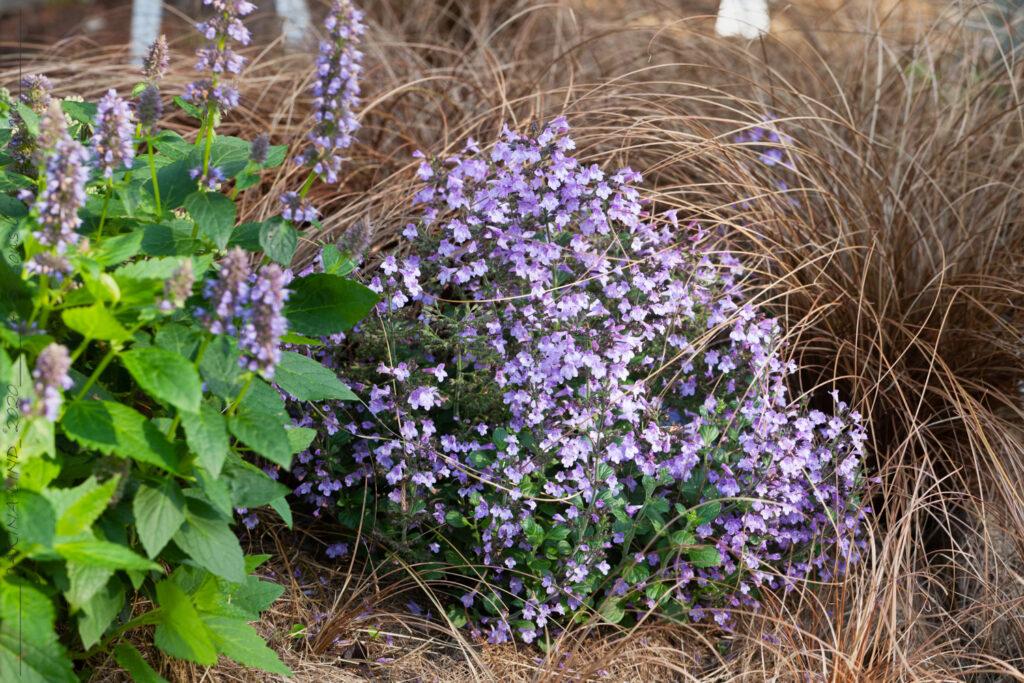 Kallvarma - Clinopodium nepeta 'Marvelette Blue'