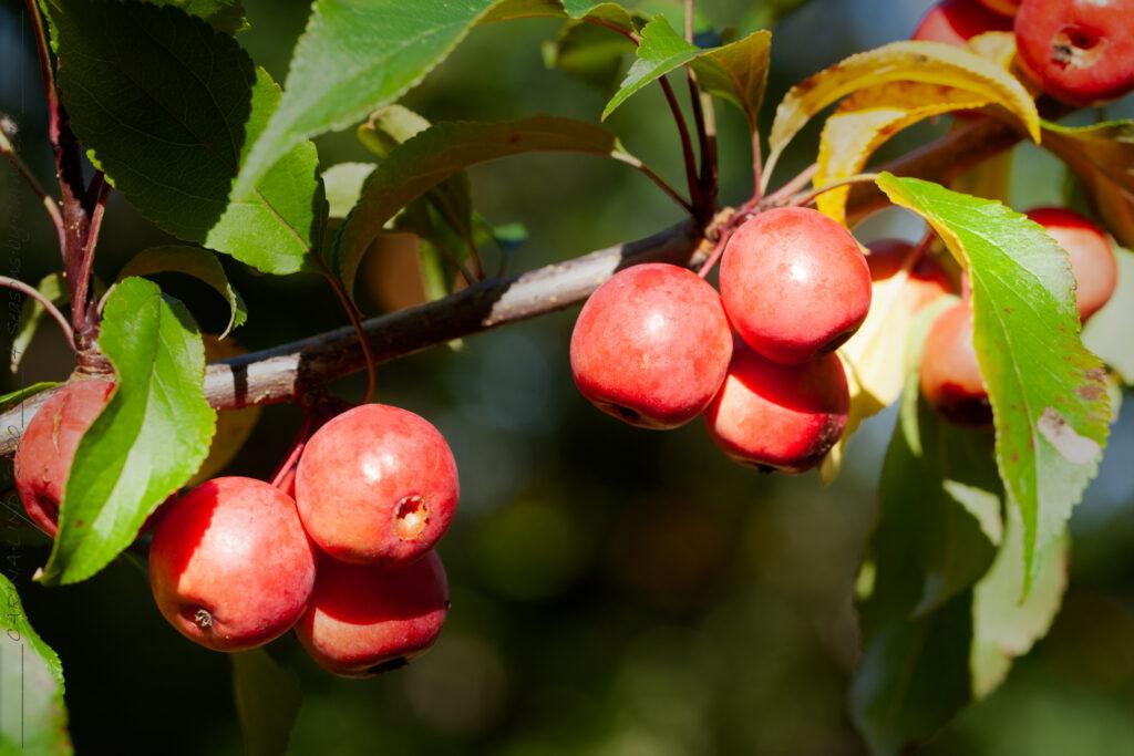 Frukt-blommor - Malus purpurea 'Ola'