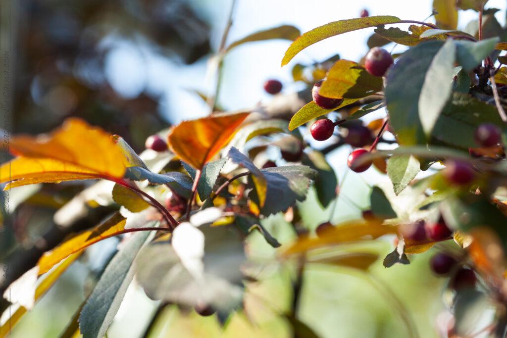 Frukt-blommor - Malus toringo 'Freja'