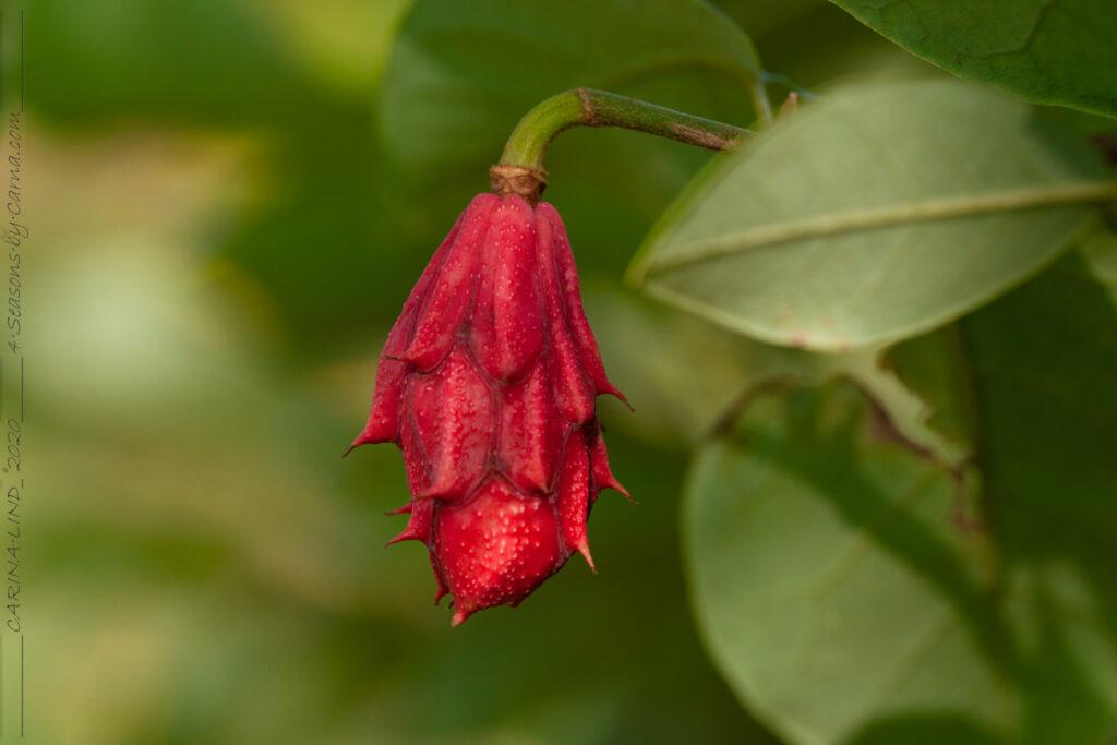Magnolia sieboldii - buskmagnolia