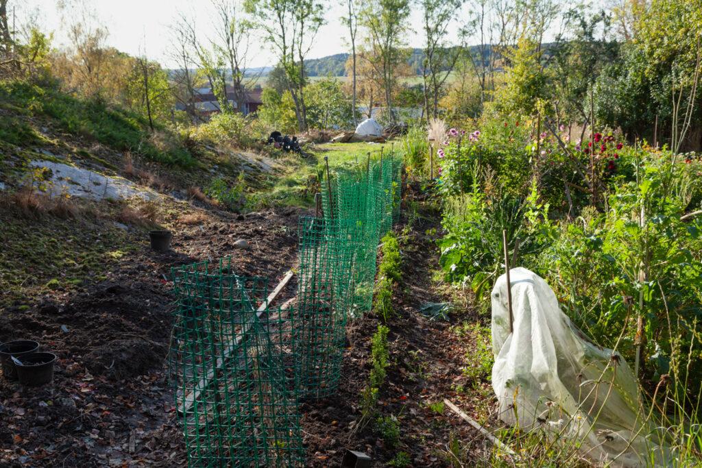 Grönsaksland - äpplehäck på gång