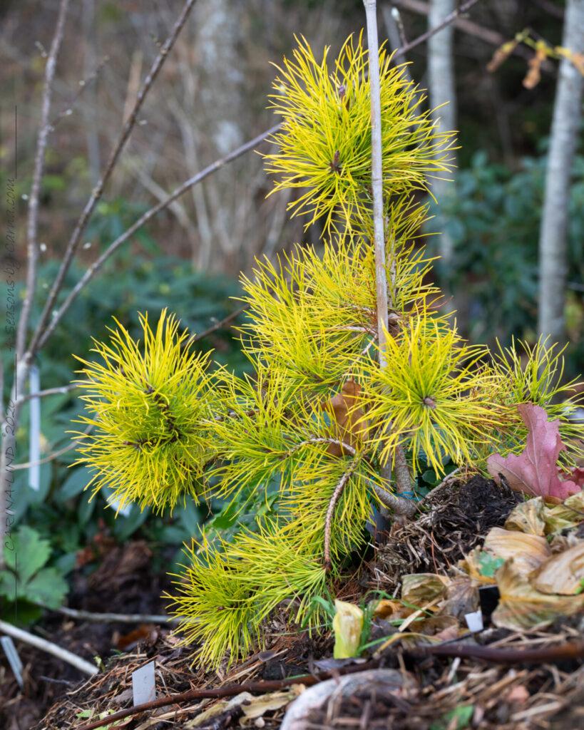 Novembervackert - Pinus contorta 'Chief Joseph'