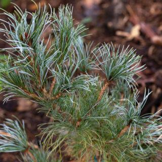 Pinus parviflora 'Ibo Can'