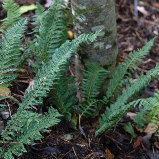 Polystichum aculeatum - uddbräken