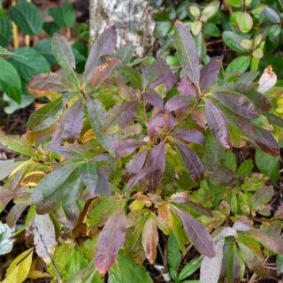 Rhododendron Knap Hill-grp 'Sylphides'