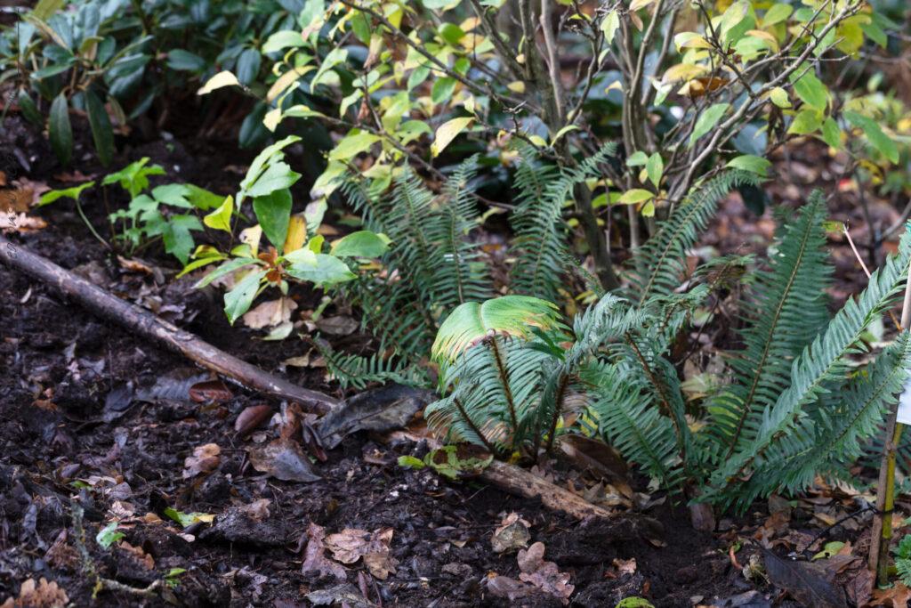Projektet-som-blev-klart - Polystichum munitum - svärdbräken