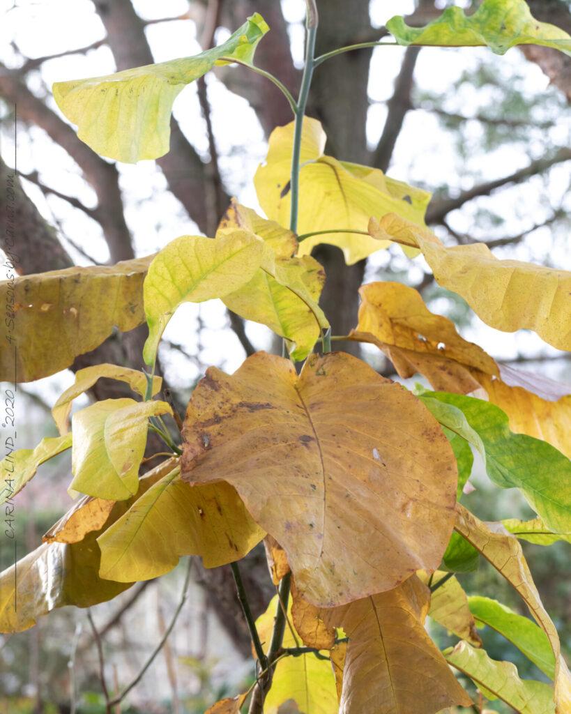 På-spaning - Magnolia macrophylla - storbladig magnolia
