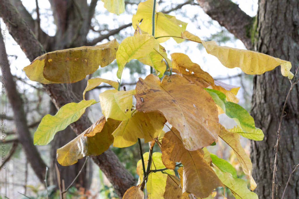Trädgårdstankarna, Magnolia macrophylla - storblading magnolia