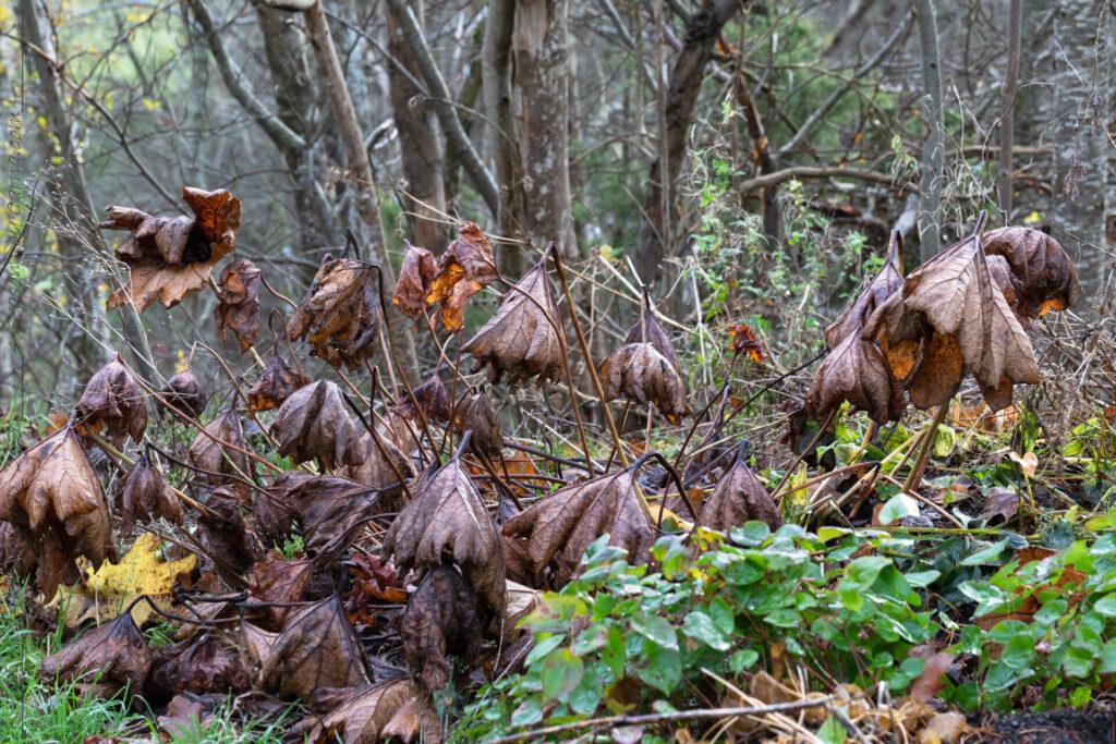 Trädgårdsmys - Darmera peltata - sköldbräcka