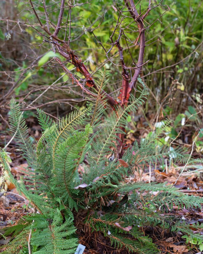 Acer griseum och Polystichum setiferum 'Herrenhausen'