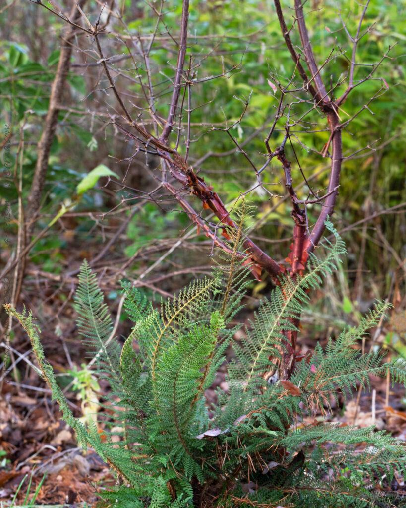 Vintergröna - Polystichum setiferum 'Herrenhausen'