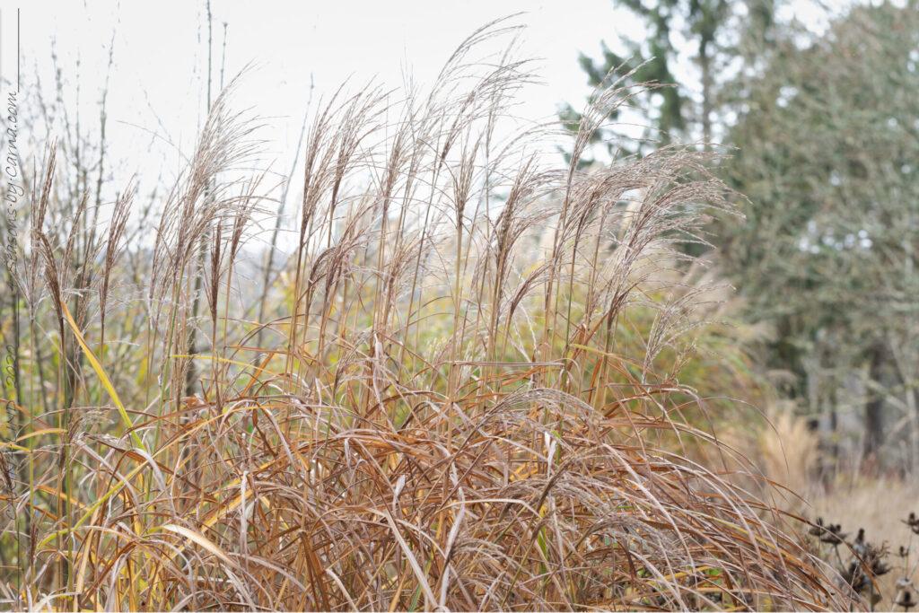Trädgårdstankarna - Miscanthus 'Undine'