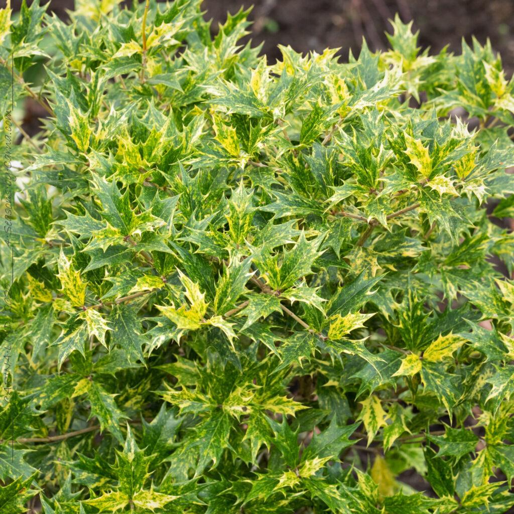Osmanthus heterophyllus 'Goshiki' - doftbuske