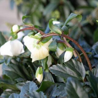 Trädgårdsmys - Helleborus niger 'Jacob' - julros