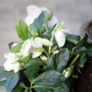 Trädgårdsmys - Helleborus niger 'Joel' - julros