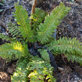 Polystichum aculeatum 'Zillertal'