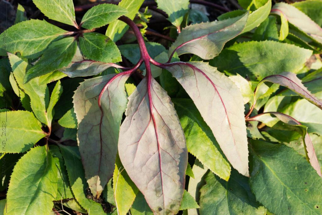 Vinter - Helleborus x nigercors - rikblommig julros