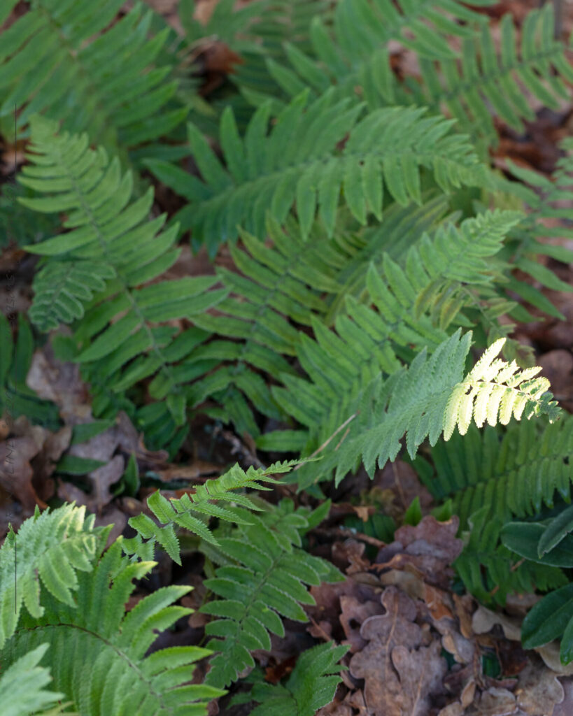 Dryopteris cycadina - lurvbräken