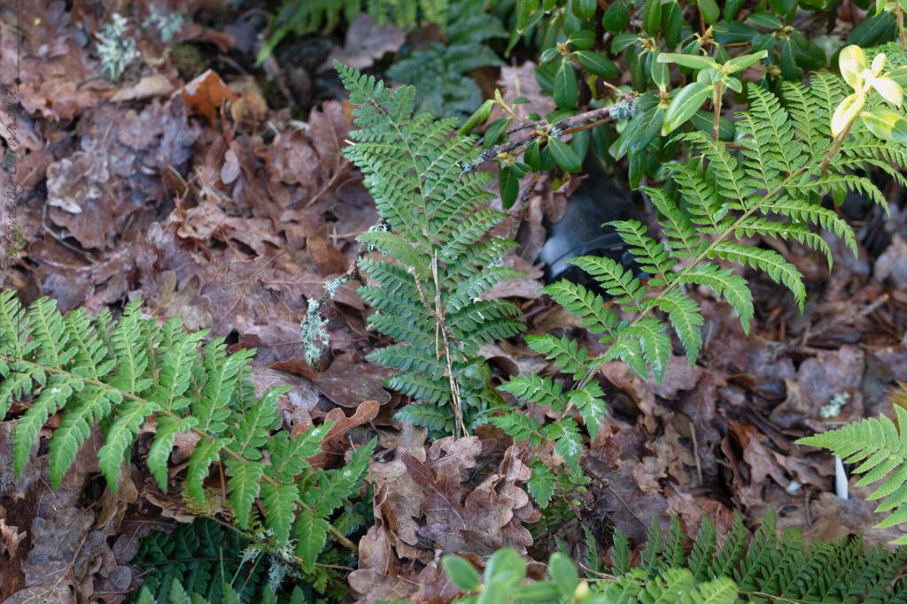 Vintergröna - Polystichum x dycei