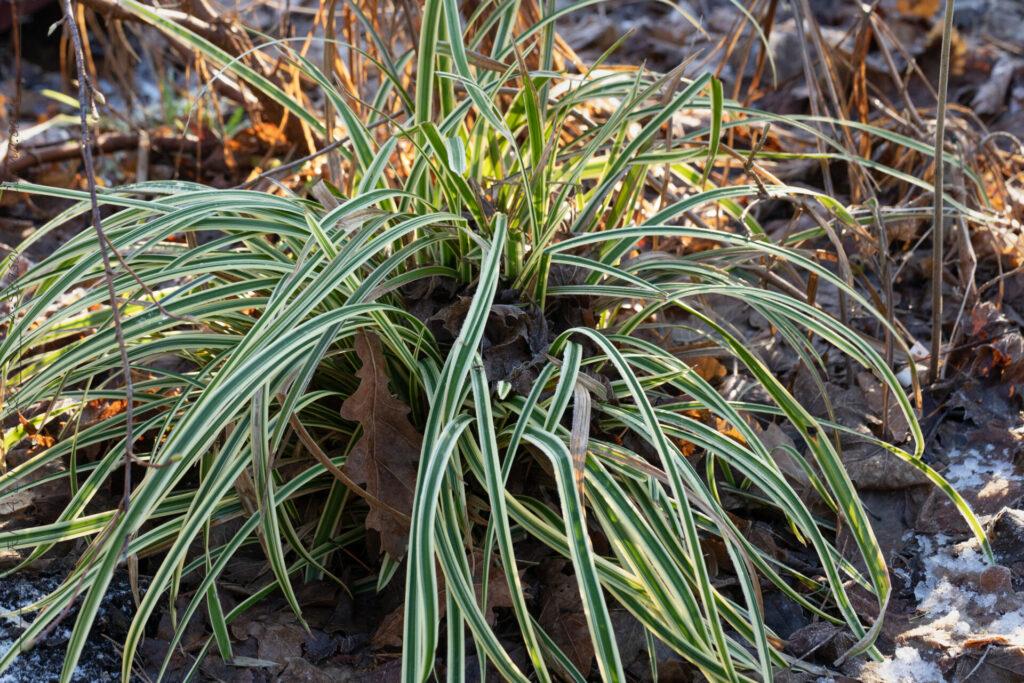 Vinter - Carex morrowii 'Vanilla Ice Cream'